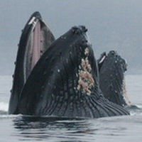 Lunge feeding humpbacks