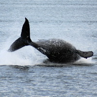 Breaching humpback whale with visable tail flukes. Photo by Ken Wies.