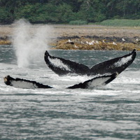 Whales fluking in Seymour Canal